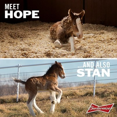 Budweiser - Clydesdale Hope - Stand